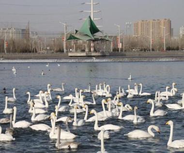 千余只野生禽鸟在库尔勒杜鹃河越冬