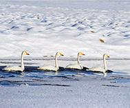 大批野禽在天鹅湖湿地越冬