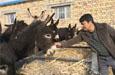 轮台县:小毛驴驮起致富梦