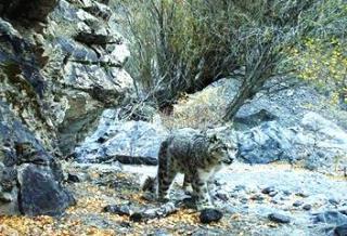 新疆:天山冬季雪豹调查取得阶段性成果