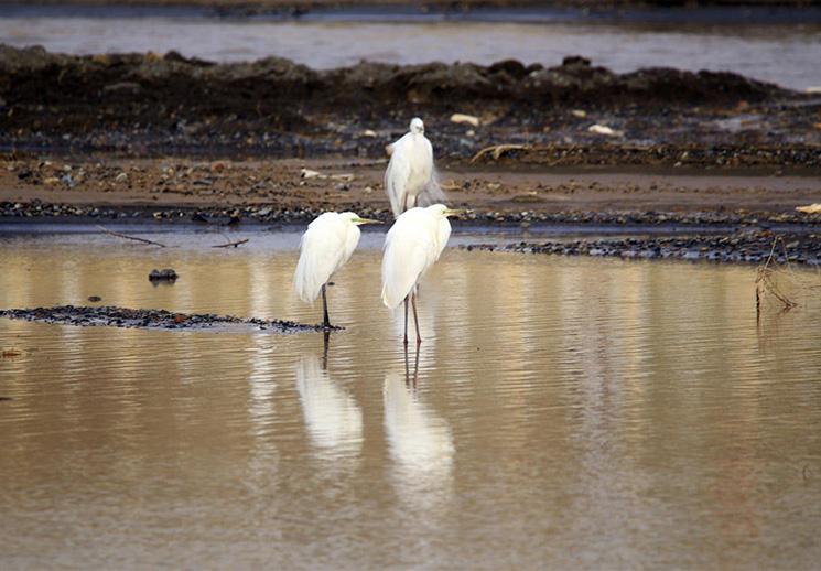 天气转暖 上百只候鸟齐聚白杨河嬉戏觅食