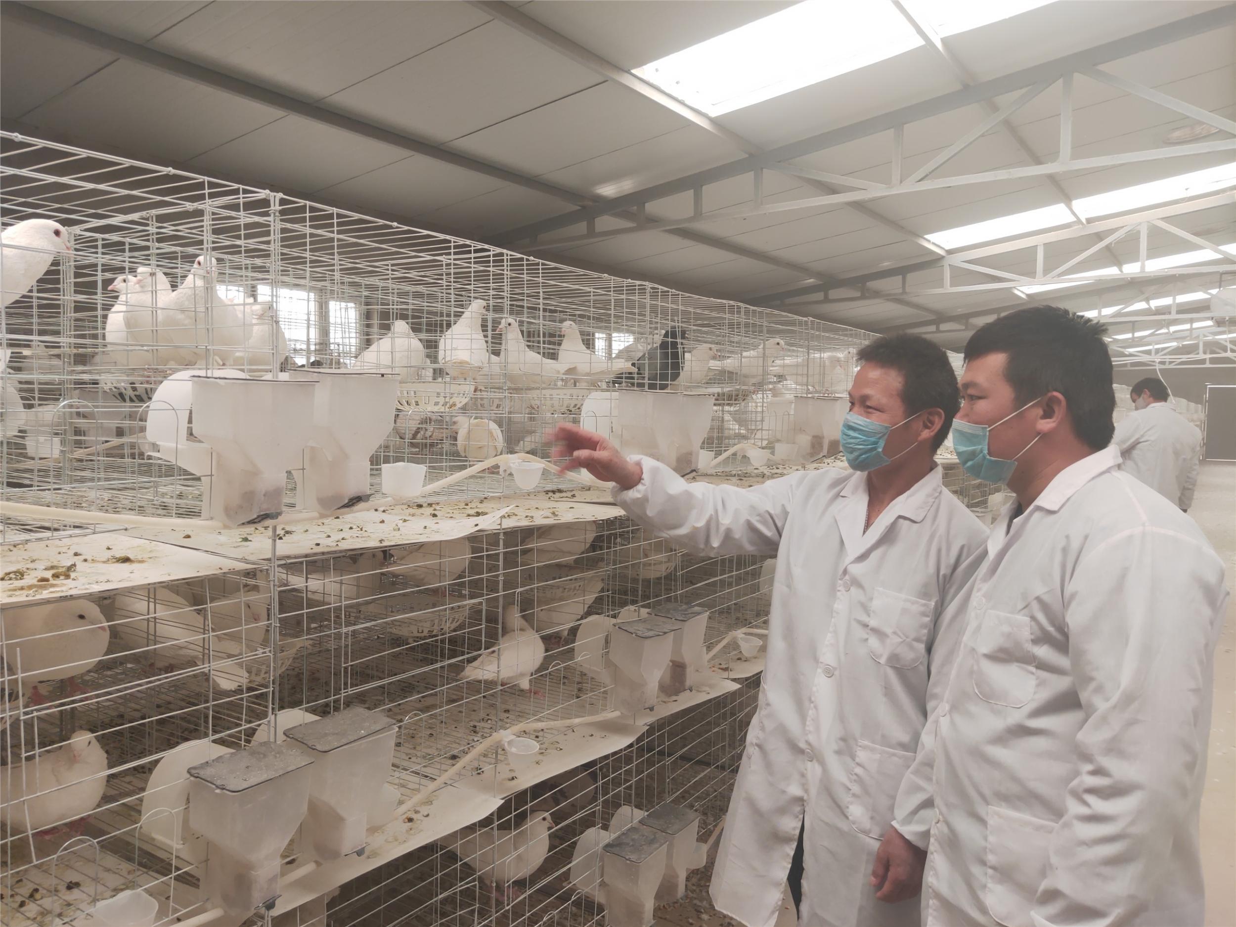 【脱贫攻坚】尉犁:发展养鸽产业 助力精准脱贫