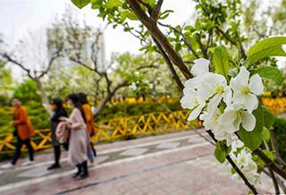 新疆库尔勒:梨城四月花正香