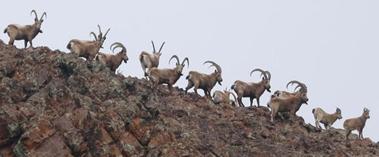 博州:成群北山羊聚集西天山