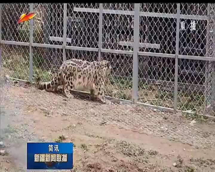 新疆首只农区发现雪豹放归天山