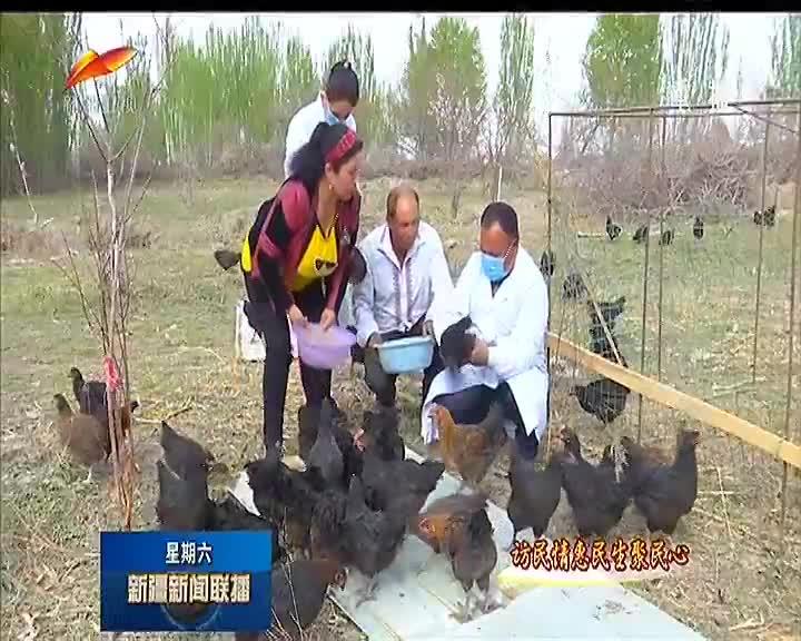 养殖黑鸡 巩固脱贫成果