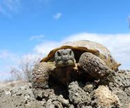 艾比湖濕地現四爪陸龜