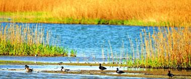 野鸭栖息湿地公园
