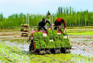 温宿:11万亩水稻全面开始插秧