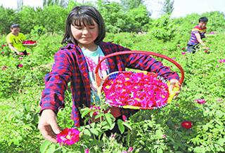 【坚决打赢脱贫攻坚战】发展玫瑰产业助力增收