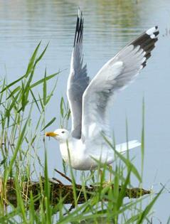 博斯腾湖布满野生禽鸟