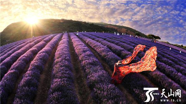 霍城县5.3万余亩薰衣草花盛开 游客陶醉紫色花海
