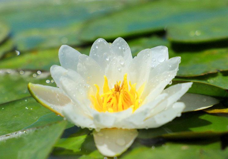 """博斯腾湖8万亩野生睡莲绽放宛如""""水上花海"""""""