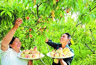 采摘早熟的桃子让游客品尝