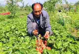 吉木萨尔县泉子街镇采摘园内的草莓熟了