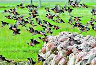 椋鸟治蝗 保护草原生态