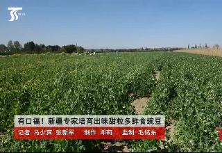 有口福!新疆专家培育出味甜粒多的鲜食豌豆
