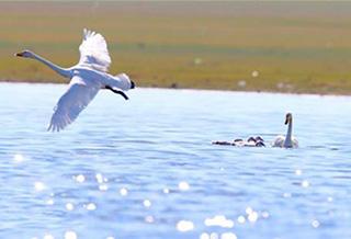 沙孜湖的天鹅喜添丁 秀恩爱给你看