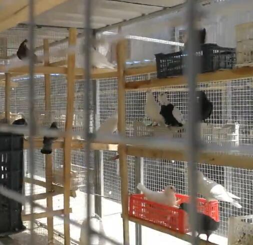 我们教培中心毕业的学生自主创业养的鸽子