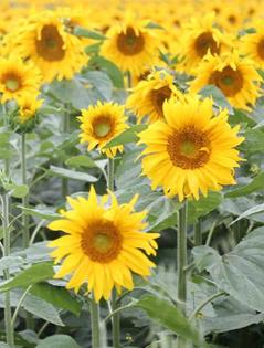 昭蘇縣5萬畝向日葵綻放