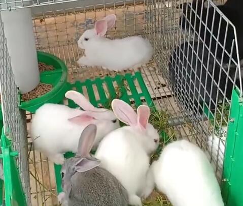 我们教培中心的养殖技术班,有很多小动物,看这些兔子可爱不