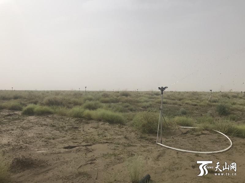 风吹狼尾草、苜蓿碎花紫:策勒战沙漠走出生态路