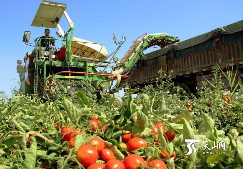 好天气晒得小脸儿红!昌吉市四万多亩加工番茄丰收