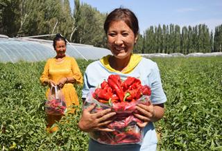乌什县:订单蔬菜促增收