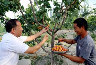 温宿县:种植吊干杏 走上增收致富路