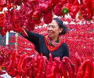 巴里坤县:火红辣椒映丰收