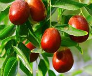 托克遜縣紅棗成熟進入采摘期
