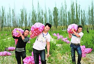 洋蔥種植帶動村民增收