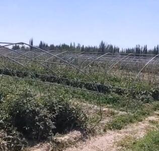 村民自己种的西红柿,安全无污染