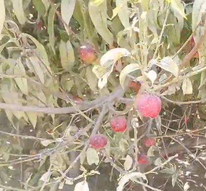 我们自家的院子里油桃开始熟了。
