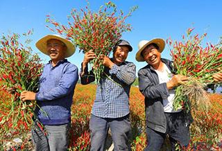 博湖县:辣椒丰收农民乐