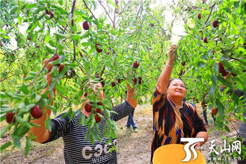 托克逊县11万亩红枣迎丰收