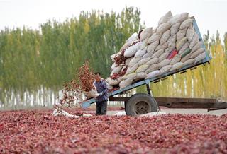 新疆博湖:辣椒丰收晾晒忙