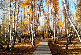 新疆赏秋好去处,阿勒泰市桦林公园美如画