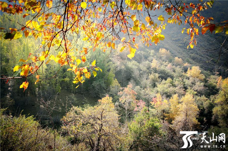 伊宁县阿吾赞森林公园秋色斑斓美不胜收