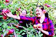 苹果丰收挂满枝 干群果园忙采摘