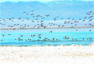 【新疆是个好地方】巴里坤湿地聚大批候鸟