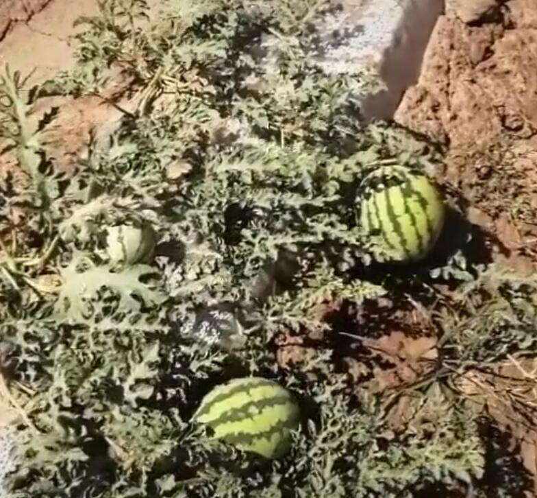 地里的西瓜长的好
