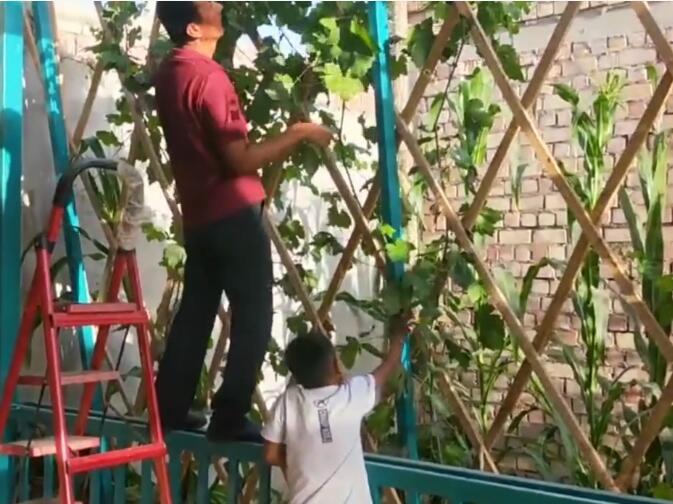 和儿子一起整理葡萄架