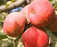 阿克苏的苹果红了