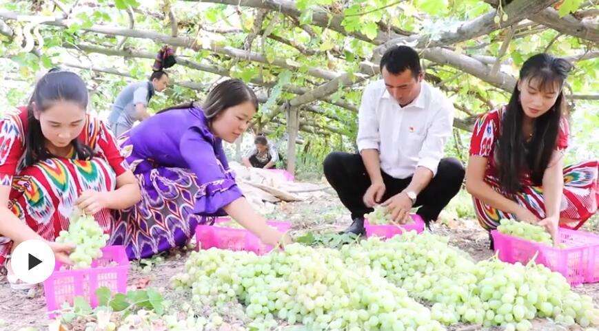 第一书记晒丰收:我为库车县阿克布亚村葡萄代言