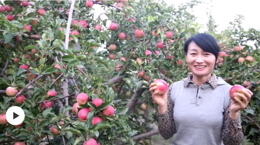 第一书记晒丰收:我为埃勒木图村的苹果代言