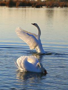 天鹅飞临伊犁河谷越冬