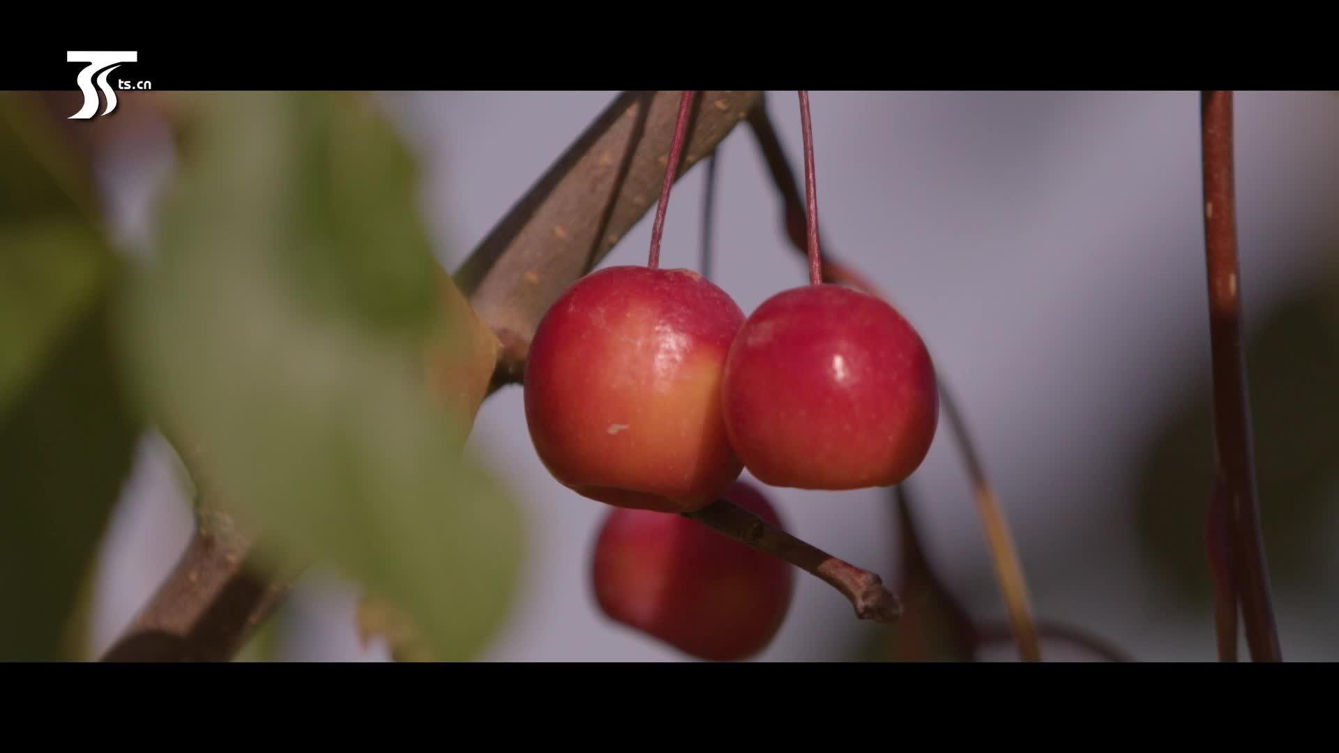 博乐三年:戈壁种出万亩海棠园