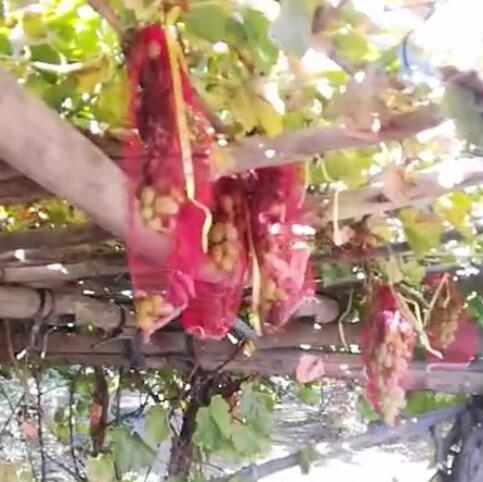 参观下阿不拉家的果园