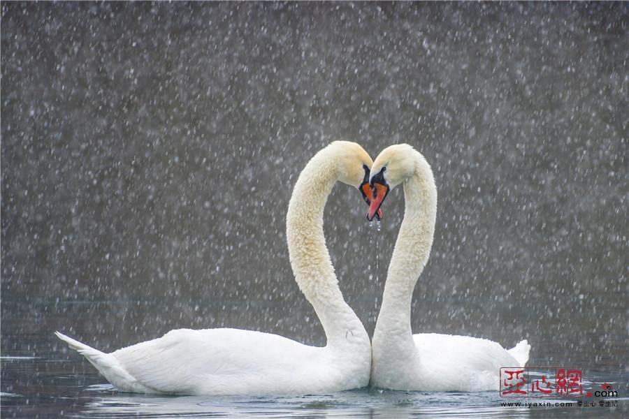 """【疆遇风光】伊宁县:雪中天鹅唯美""""神姿"""""""